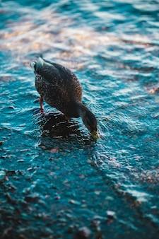 Photo de mise au point peu profonde de canard noir