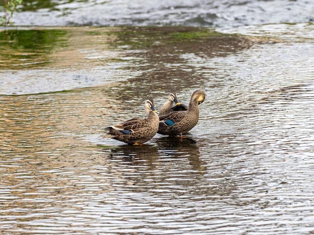 Photo de mise au point sélective d'adorables canards à bec tacheté