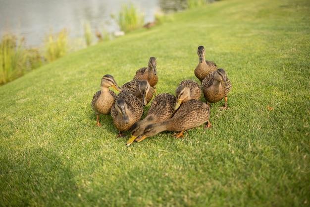 Photo de neuf bites sauvages sur l'herbe verte le grignotent ensemble. manger des plantes à l'extérieur sur le pré ou dans le parc. belle faune à l'extérieur.