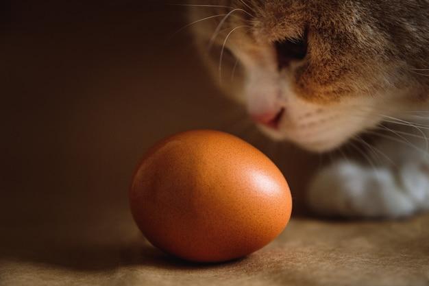 Photo d'un œuf de poule marron avec un chat roux sur fond marron.