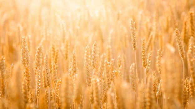 Photo panoramique du grain de blé mûr contre la lumière du jour dans le domaine