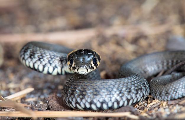 Photo d'un petit serpent dans un habitat indigène