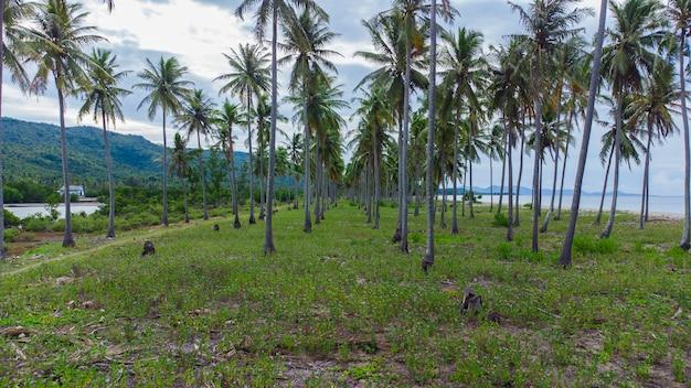 Photo d'une plantation de noix de coco dans l'un des villages du district d'aceh besar à aceh en indonésie