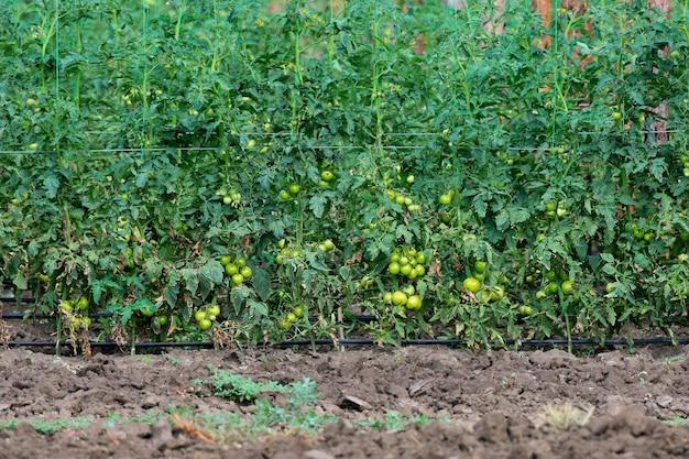 Photo d'une plantation de tomates aux fruits verts