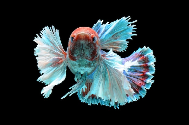 Photo de poisson betta sur fond noir