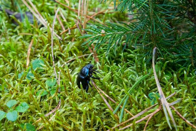 Photo d'un scarabée dor, geotrupes stercorosus parmi la mousse. dora beetle, geotrupes stercorosus parmi la mousse. scarabée bleu et noir dans la forêt