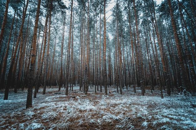 Photo tonique de la vieille forêt d'hiver au soir