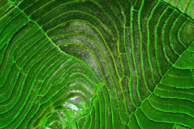 photographie aérienne de rizières vertes