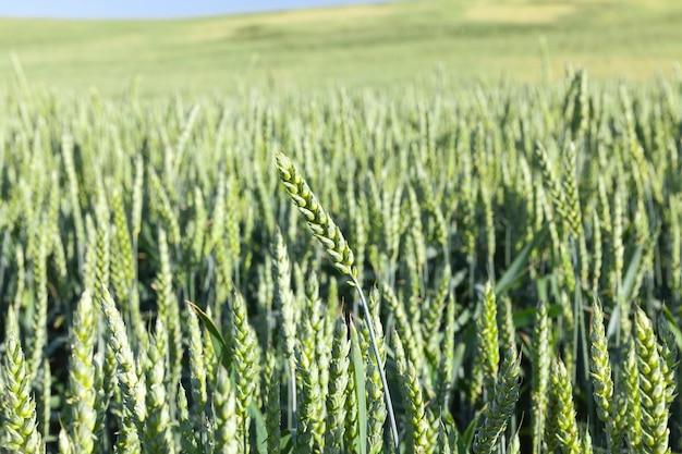 Photographié des épis de blé vert non mûr en gros plan, faible profondeur de champ