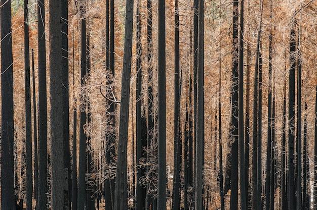 Photographie d'une forêt d'arbres brûlés après un incendie. couleurs marron noir et jaune avec des tons ocres. les arbres sont des pins