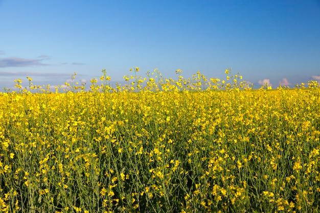 Photographié en gros plan dans le champ agricole fleur de colza