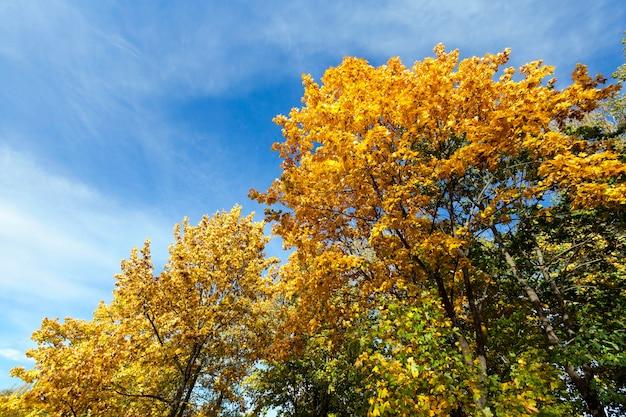 Photographié en gros plan avec des feuilles d'érable jaunies à l'automne, ciel bleu à la surface