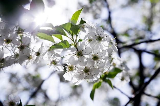 Photographié En Gros Plan De Fleurs De Cerisier Blanc. Printemps Photo Premium