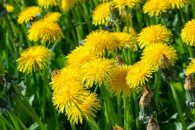 Photographié gros plan de pissenlits jaunes au printemps, faible profondeur de champ