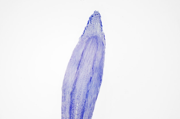 Photographie microscopique. racine de la plante, coupe longitudinale.