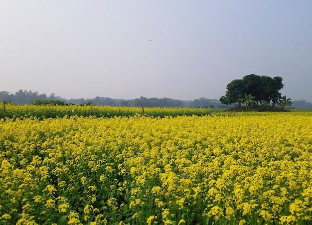 Photographie de nature de champ de moutarde