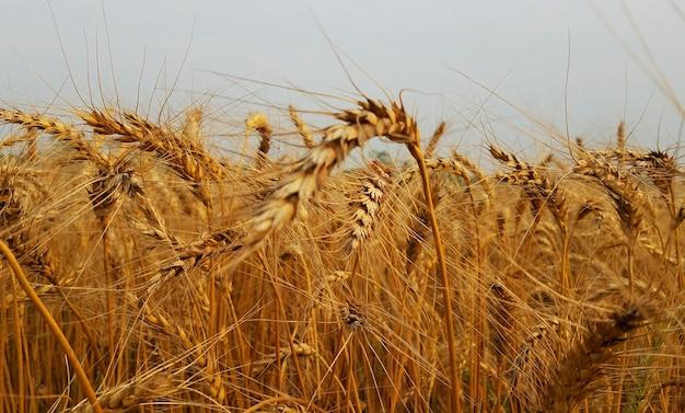 Photographie natute de blé doré