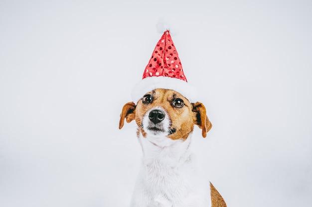 Photographie de stock race de chien blanc et brun jack russell avec chapeau de noël sur blanc