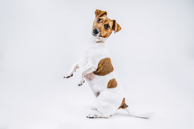 Photographie de stock race de chien blanc et brun jack russell full shot standing on white