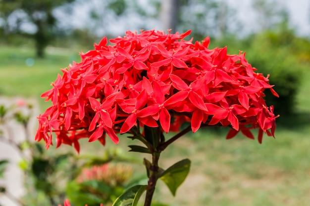 Photos fleurs ixora rouge