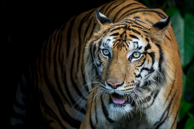 Photos de tigre naturellement.