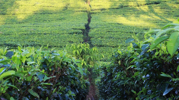 Photoshoot de jardin de thé naturel