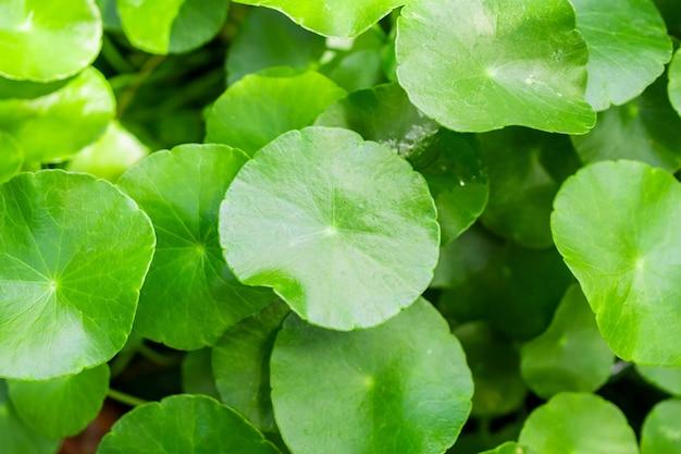 La phytothérapie laisse la nature de la centella asiatica connue sous le nom de gotu kola