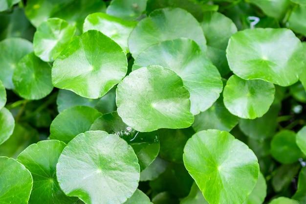 La phytothérapie laisse la nature de fond de centella asiatica connu sous le nom de gotu kola