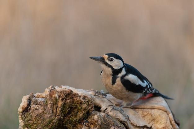 Pic épeiche assis sur la branche. scène de la faune de la nature. dendrocopos major.