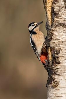 Pic épeiche dans un tronc d'arbre à la recherche de larbas
