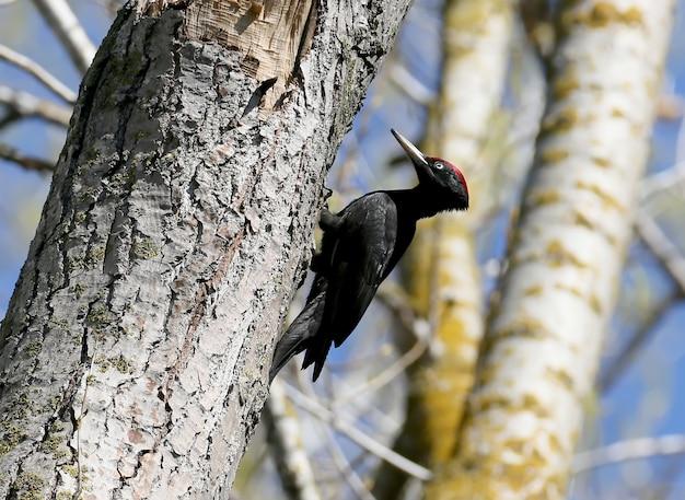 Le pic noir (dryocopus martius) est assis sur un arbre contre un ciel bleu