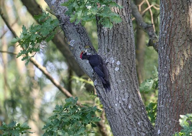 Le pic noir (dryocopus martius) recherche des insectes et des larves dans l'écorce d'un chêne épais. belle lumière du soir sur la photo
