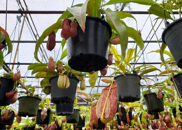 Pichet nepenthestropical tasses plantsmonkey sur le marché des plantes ornementales