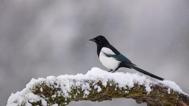 Pie bavarde sur branche en hiver dans les chutes de neige