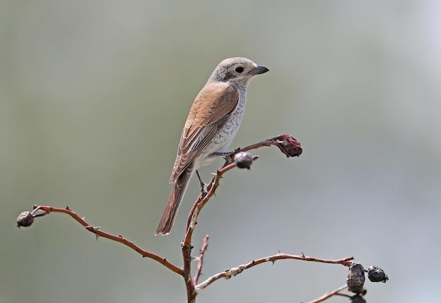 Pie-grièche à dos rouge femelle est assise sur une branche close up