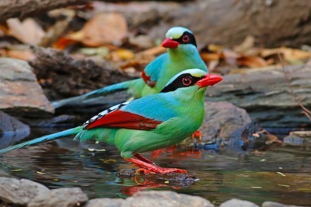 Pie verte commune cissa chinensis beaux oiseaux de thaïlande