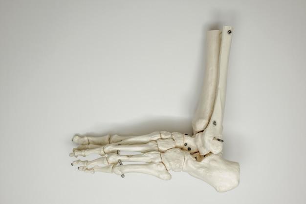 Pied anatomique des os sur fond blanc