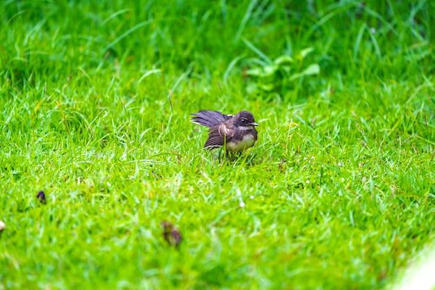 Pied fantail malaisien ; oiseau noir à la poitrine et à la queue blanches., vit dans le jardin et le champ d'herbe autour de bangkok, ou au centre et au nord de la thaïlande.