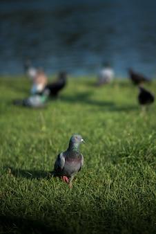Pigeon au sol avec dalight