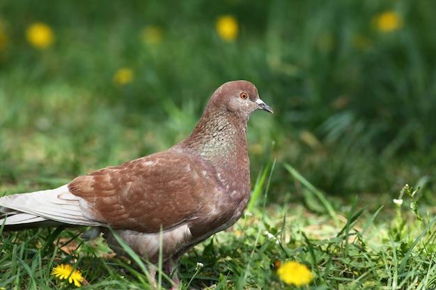 Pigeon biset brun marchant dans le champ nature printemps