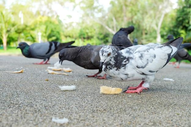 Le pigeon blanc ou colombe (columba livia) est debout et mange du pain sur le trottoir du pub
