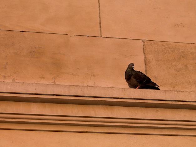 Pigeon sur la corniche à paris france