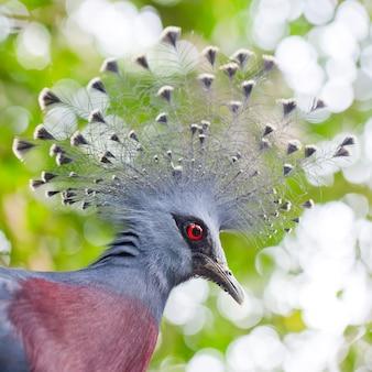 Pigeon couronné victoria (goura victoria) se bouchent
