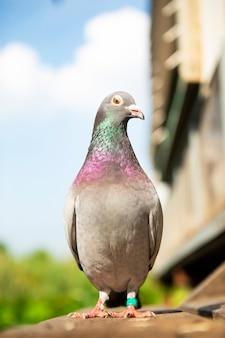 Pigeon de course de vitesse à la maison