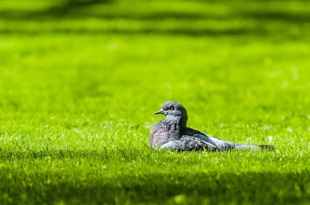 Pigeon dans l'herbe fraîche du printemps au soleil