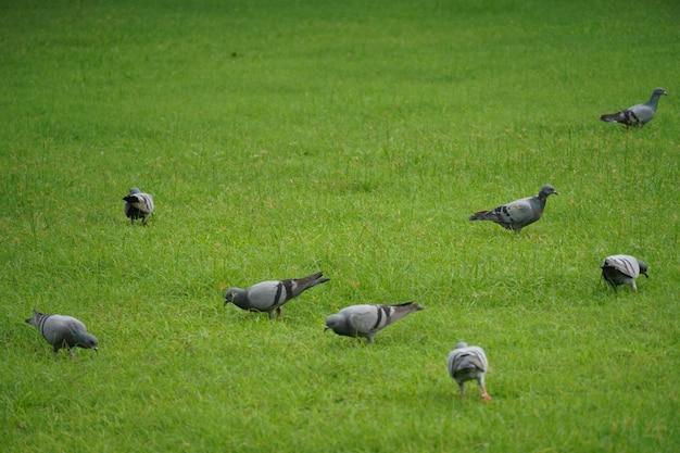 Pigeon dans l'image de l'herbe verte