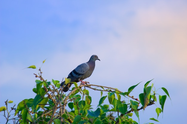 Pigeon domestique ou également connu sous le nom de pigeon biset perché sur la branche d'arbre et regardant autour