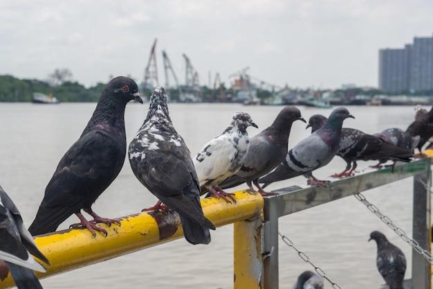Le pigeon avec fond flou.