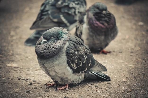 Pigeon fortement ébouriffé sur le filtre en gros plan de la chaussée