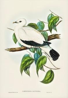 Pigeon fruitier du détroit de torres (carpophaga luctuosa) illustré par elizabeth gould